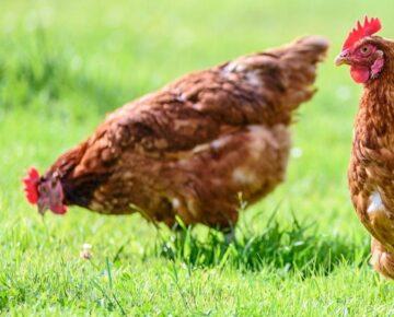 Ostrzeżenie Wojewody Warmińsko-Mazurskiego przed ptasią grypą
